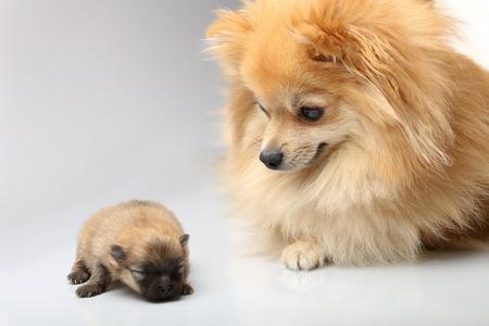 fidelidad: spitz madre con los cachorros