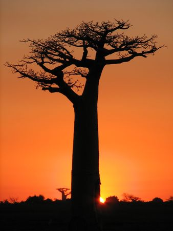 Baobab over sunset