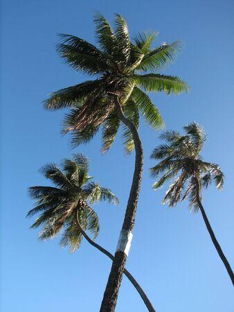 exoticism: Three coconut tree Stock Photo