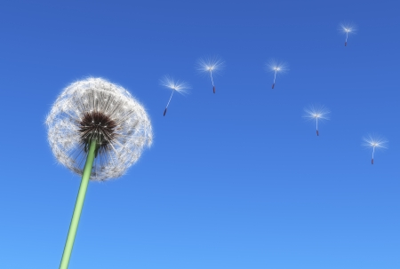 dandelion and some flying seeds carried by the wind on a blue sky as background photo