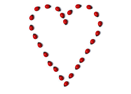 top view of a row of some ladybugs, one behind the other, that forms a heart shape on a white background Stock Photo