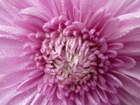 arise: Lilac Flower