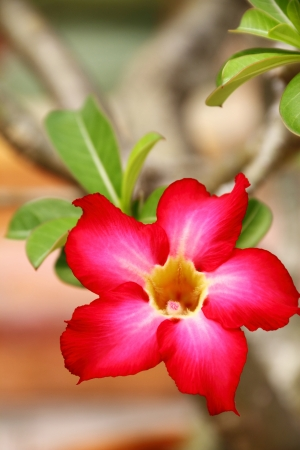 Desert rose flower closeup Stock Photo - 13704505