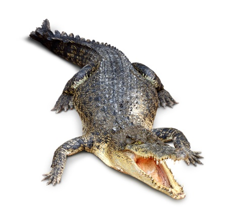 Crocodile isolated on white