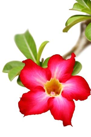 Desert rose flower closeup isolated on white background