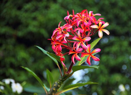 Brilliant Pink and Orange Plumeria  photo