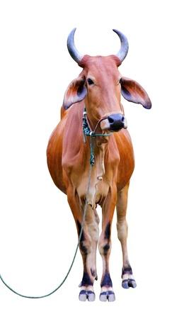 Zebu cow, Thailand