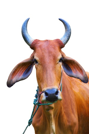 Portrait of zebu cow, Thailand