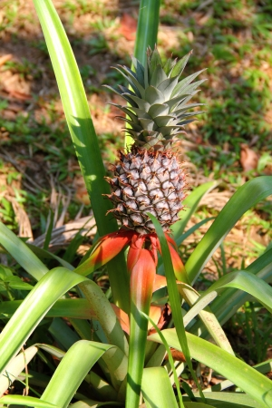 Growing pineapple, Thailand  photo