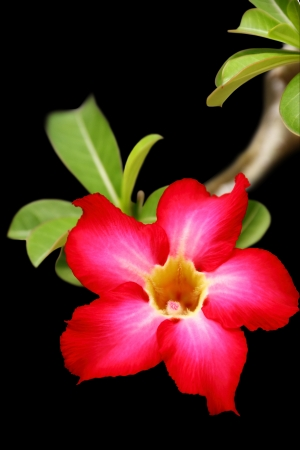 Desert rose flower closeup, isolated on black background