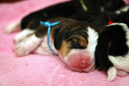 Newborn beagle puppies on pink blanket photo
