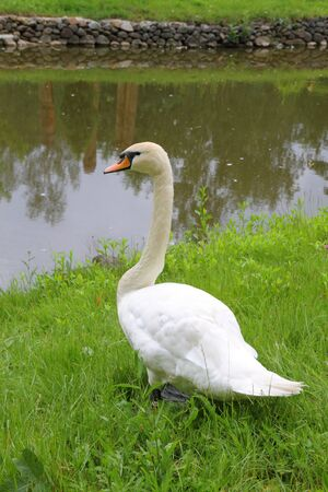 Beautiful swan in the grass near the pond Stock Photo - 14350317