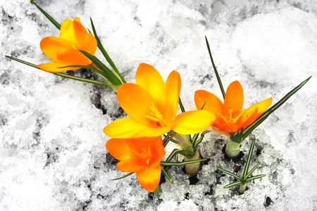 Yellow crocus flowers in the snow photo