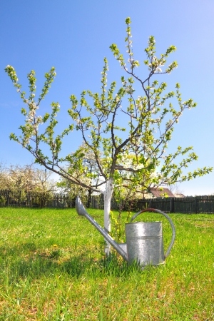 Flowering tree in a spring garden and watering can Stock Photo