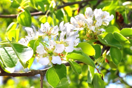 Flowering branch of pear tree in a spring Stock Photo
