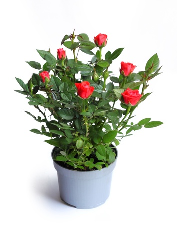 red bush: Miniature rose in a flower pot isolated on white background