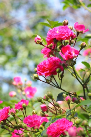 Flowers of climbing roses