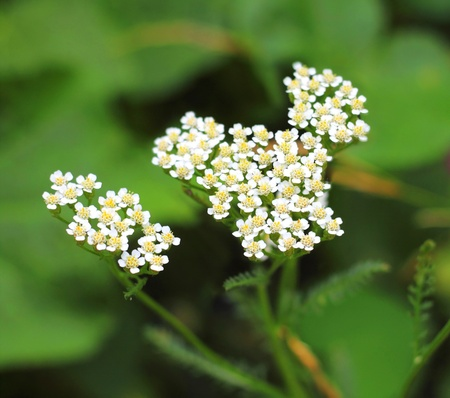 Yarrow flowers closeup photo
