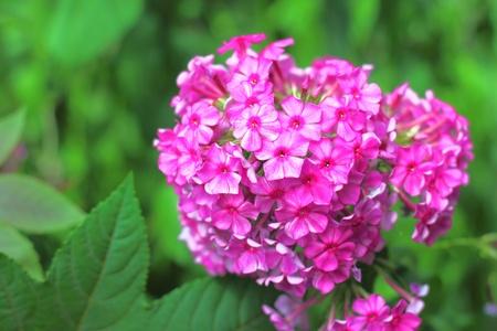 Garden Flox closeup