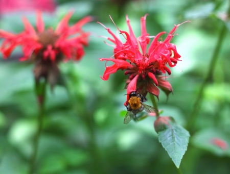 Bumblebee collects nectar on a Monarda flower  Stock Photo