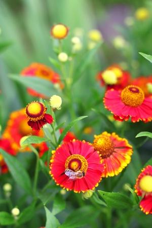 Flowering Helenium