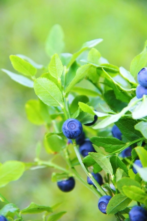 Blueberries growing on a branch Stock Photo - 21771640
