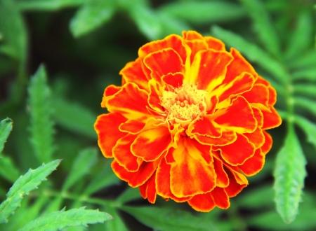 patula: Closeup of French marigold flower (Tagetes patula) Stock Photo