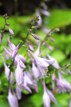 Hosta flowers with the drops of dew photo