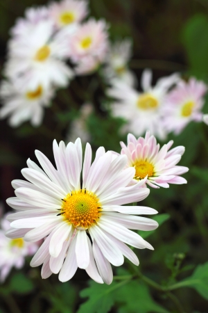 Chrysanthemum flower closeup Stock Photo - 23265394