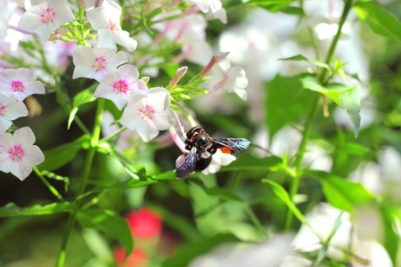 Black carpenter bee (Xylocopa valga) sitting on flox flower photo