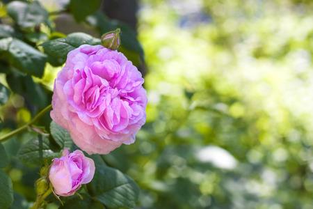 センチフォリアバラ (ローズ デ Peintres) 花のクローズ アップ