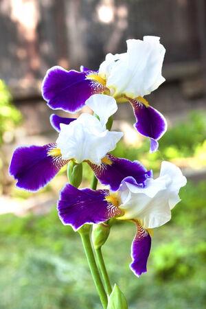 Violet and white iris flower closeup