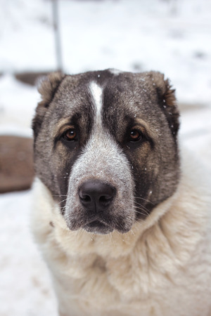 alabai: Portrait of five months puppy of Central Asian Shepherd