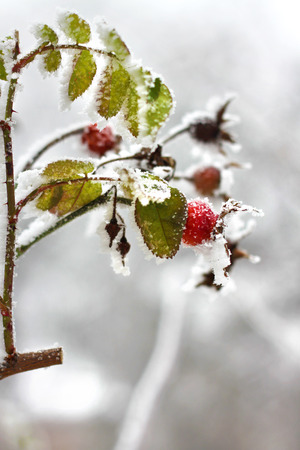 Branch of frozen dog-rose in a winter Stock Photo