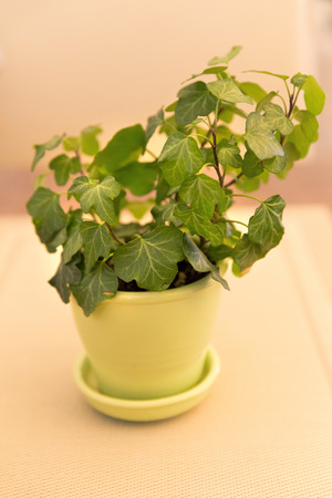 Ivy plant in yellow flowerpot