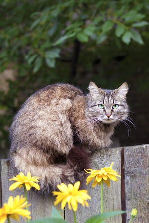 Fluffy cat sitting on a wooden fence Stock Photo
