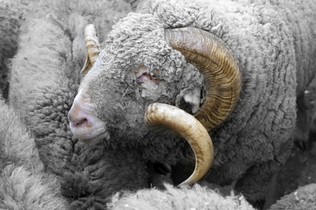 The portrait of a ram among the flocks of sheep Stock Photo