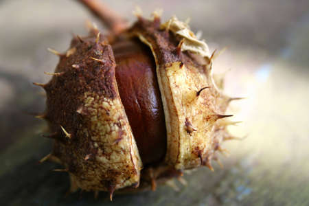 Chestnut. Gifts from autumn. Natural product. photo
