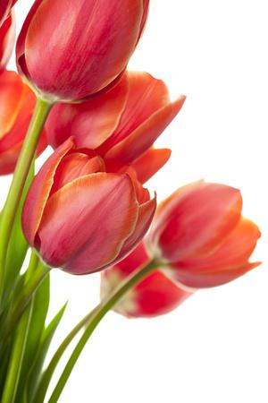 Świeże tulipanów Beautiful odizolowane na białym / pionowy z miejsca kopiowania
