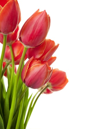 Fresh Beautiful Tulips  isolated on white  vertical with copy space Stock Photo