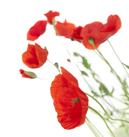 Poppies isolated on white background / focus on the foreground / floral border