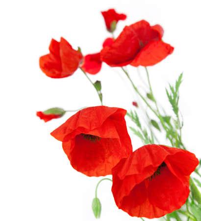 자연 신선한 양 귀 전경 꽃 테두리에 흰색 배경에 초점에 고립 스톡 콘텐츠