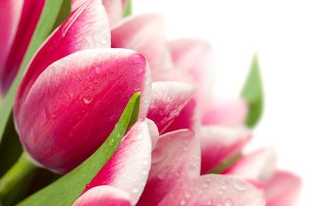 Tulipes roses avec des gouttes d'eau sur fond blanc / copie espace pour le texte Banque d'images - 13756181