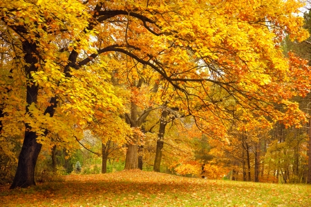 Autumn  Gold Trees in a park