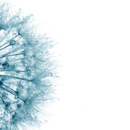 Super macro blauwe paardebloem met druppels op een witte achtergrond - abstract