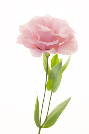 Fresh pink rose flower isolated on white Stockfoto
