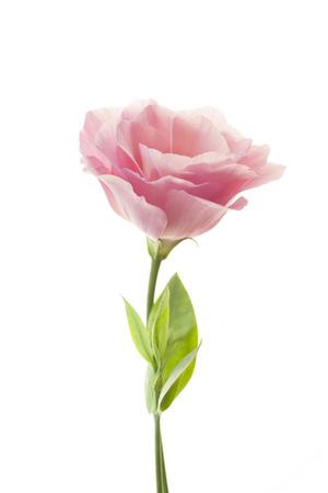 Pure romantische roze roos met verse bladeren op witte
