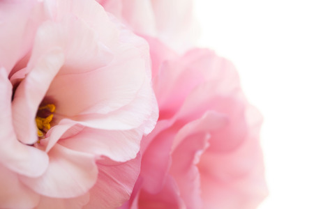Romantic pure pink roses background - macro