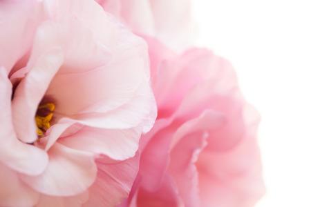 Romantic pure pink roses background - macro