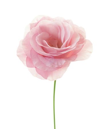Beautiful minimalistic pink rose with fresh leaves isolated on white Foto de archivo